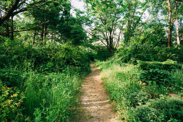 Lane, Path, Way In Summer Deciduous Forest - Stock Photo - Images