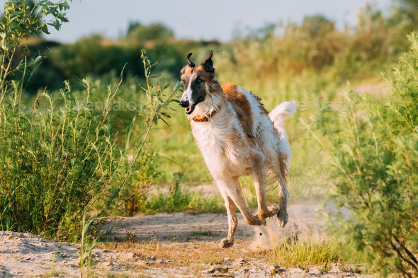Running Adult Russian Wolfhound Hunting Sighthound Russkaya Psov - Stock Photo - Images