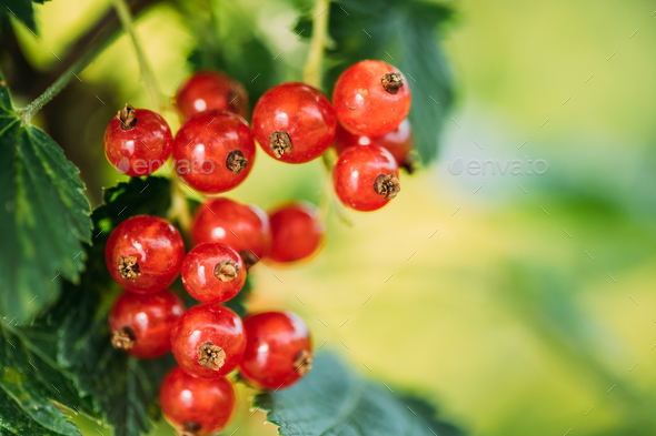 Fresh Ripe Red Currant Branch. Growing Organic Berries. Ripe Cur - Stock Photo - Images