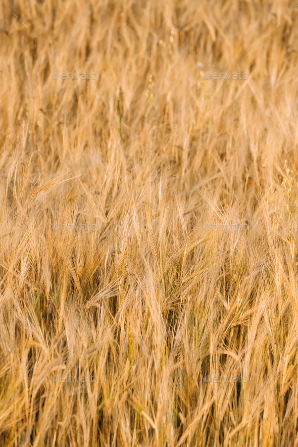 Background Of Yellow Golden Barley Ears In Summer Wheat Field - Stock Photo - Images