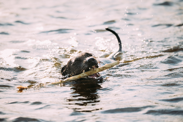 Black Dog Swimming With Wooden Stick in Teeth In Water Of River - Stock Photo - Images