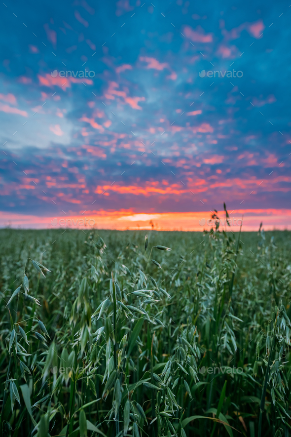 Close Up Of Oat Florets In Landscape Of Green Young Oat Plantati - Stock Photo - Images