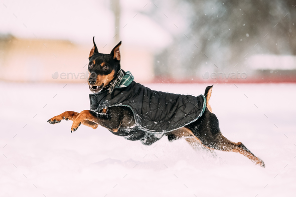 Funny Black Miniature Pinscher Zwergpinscher, Min Pin Dog Playin - Stock Photo - Images