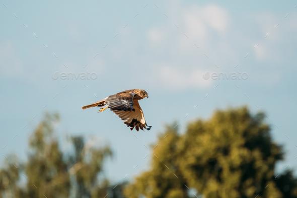 The Hen Harrier Or Circus Cyaneus Wild Bird Flies In Blue Sky In - Stock Photo - Images