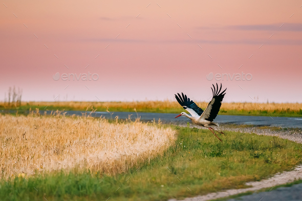 Adult European White Stork Taking Off From Agricultural Field In - Stock Photo - Images