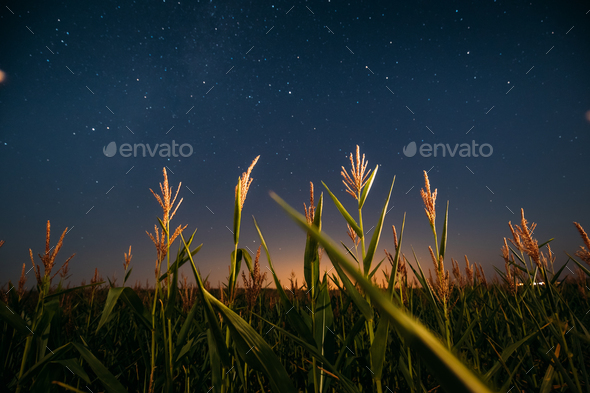 Night Starry Sky Above Green Maize Corn Field Plantation In Summ - Stock Photo - Images