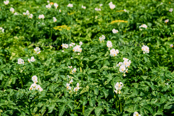 Flowering Blooming Green Vernal Sprouts Of Potato Plant Or Solan - Stock Photo - Images