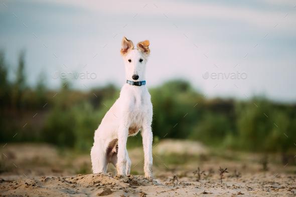 Puppy Of Russian Wolfhound Hunting Sighthound Russkaya Psovaya B - Stock Photo - Images