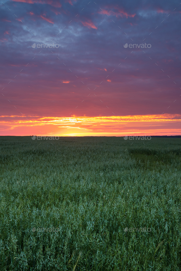 Landscape Of Green Young Wheat In Spring Field Under Scenic Summ - Stock Photo - Images
