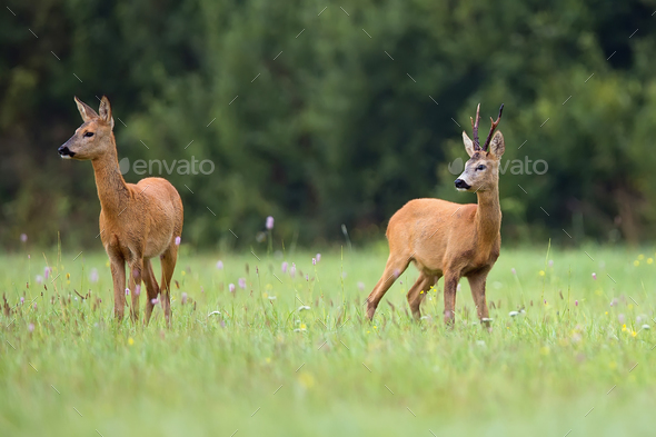 Roe-deer with buck deer in a clearing  - Stock Photo - Images