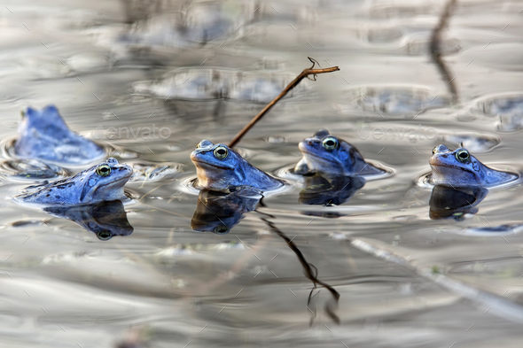 Moor frogs on the lake - Stock Photo - Images