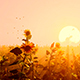 Field Of Sunflowers At Sunset - VideoHive Item for Sale