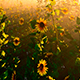 Green Field Of Sunflowers - VideoHive Item for Sale