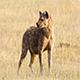 HyenaANDWilddog