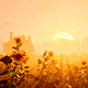 Sunset And The Field Of Sunflowers - VideoHive Item for Sale