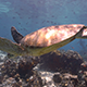 Green Sea Turtle Swims over Coral Reef - VideoHive Item for Sale