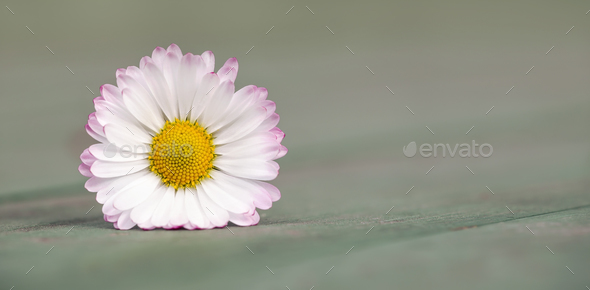 Spring daisy flower - Stock Photo - Images