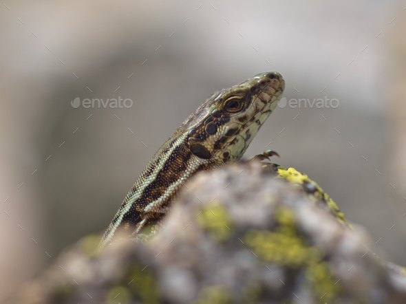 Common Wall Lizard - Stock Photo - Images