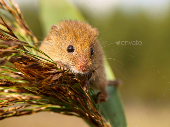 Harvesting Mouse in a reed plume - Stock Photo - Images