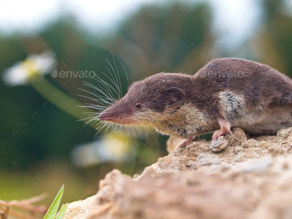 Bicolored White-toothed Shrew - Stock Photo - Images
