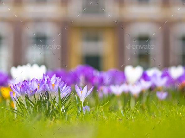 crocus in front of a historical building - Stock Photo - Images