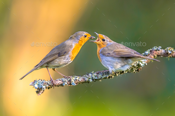 Parent Robin bird feeding juvenile - Stock Photo - Images