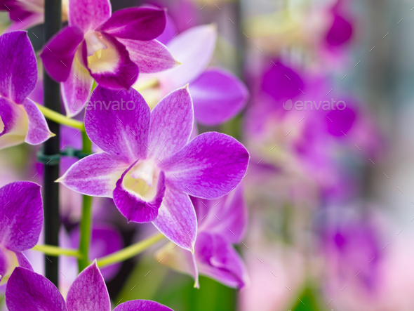 Purple orchid flowers - Stock Photo - Images