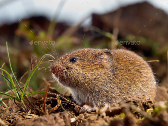 Common Vole (Microtus arvalis) on the ground in a field - Stock Photo - Images