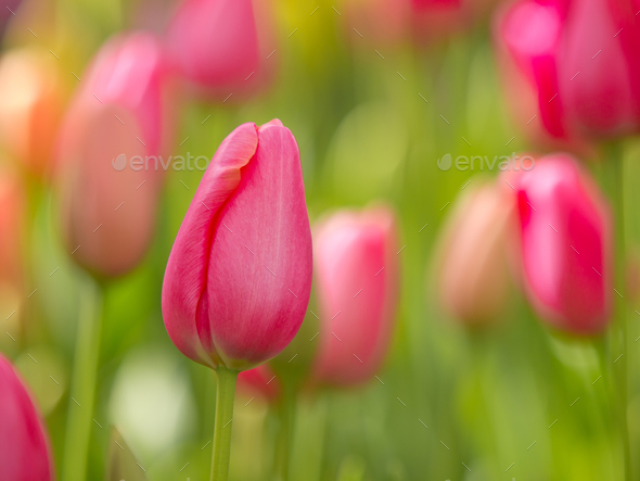 Colorful tulips - Stock Photo - Images
