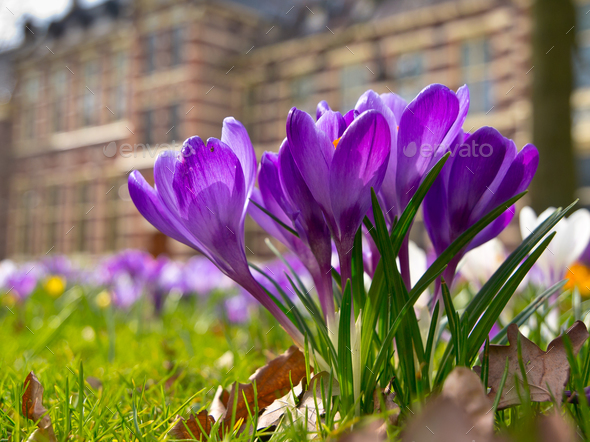Blooming purple crocus - Stock Photo - Images