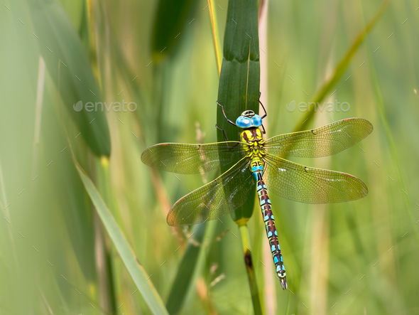 Dragonfly Resting on a Leaf - Stock Photo - Images