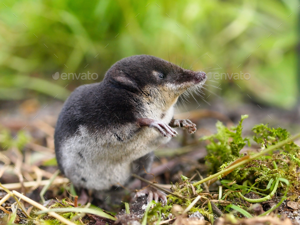 European Water Shrew in Natural Habitat - Stock Photo - Images