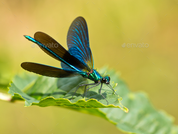 Damselfly on a leaf - Stock Photo - Images