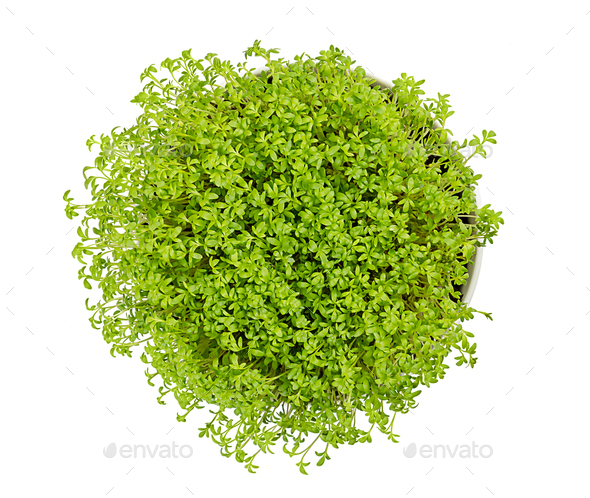 Garden cress in white bowl from above over white - Stock Photo - Images