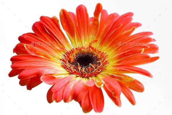 Orange gerbera flower - Stock Photo - Images