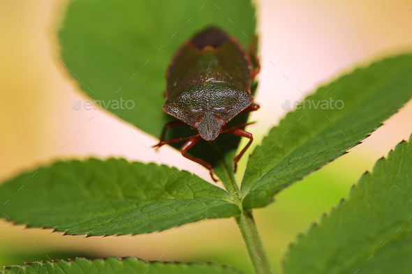 Shield Bug Or Stink Bug - Stock Photo - Images