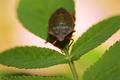 Shield Bug Or Stink Bug - PhotoDune Item for Sale
