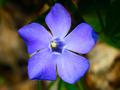 blue periwinkle flower - PhotoDune Item for Sale