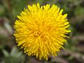 yellow dandelion flower - PhotoDune Item for Sale