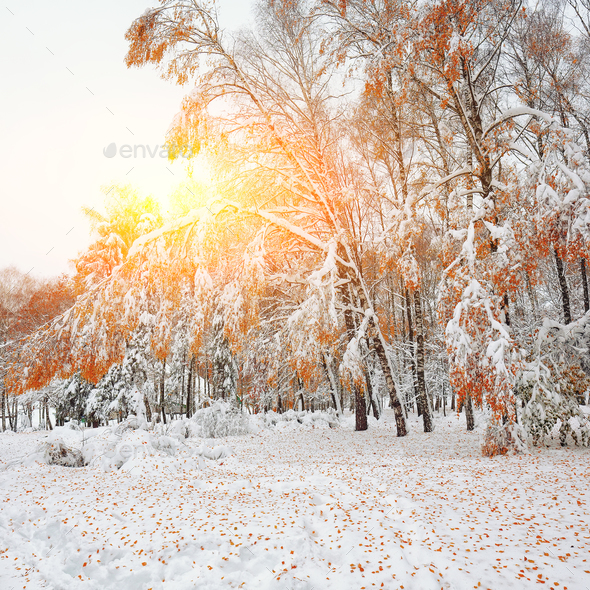 Snow covered trees in the wood.First snow in the forest - Stock Photo - Images