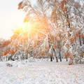 Snow covered trees in the wood.First snow in the forest - PhotoDune Item for Sale