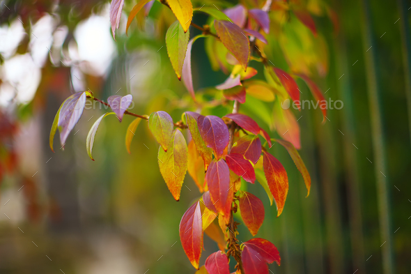 Defocused colored leaves on a bush - Stock Photo - Images