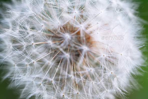 Dandelion seeds in the morning sunlight - Stock Photo - Images