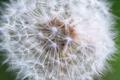 Dandelion seeds in the morning sunlight - PhotoDune Item for Sale