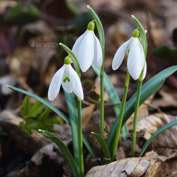 Spring snowdrop flowers blooming in sunny day - Stock Photo - Images