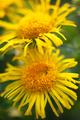 bright yellow daisies - PhotoDune Item for Sale