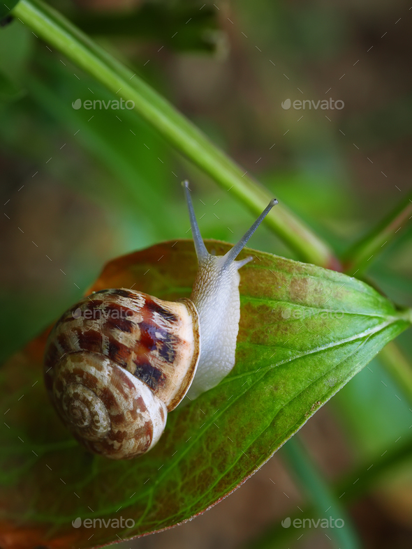 Curious snail in the garden on green leaf - Stock Photo - Images