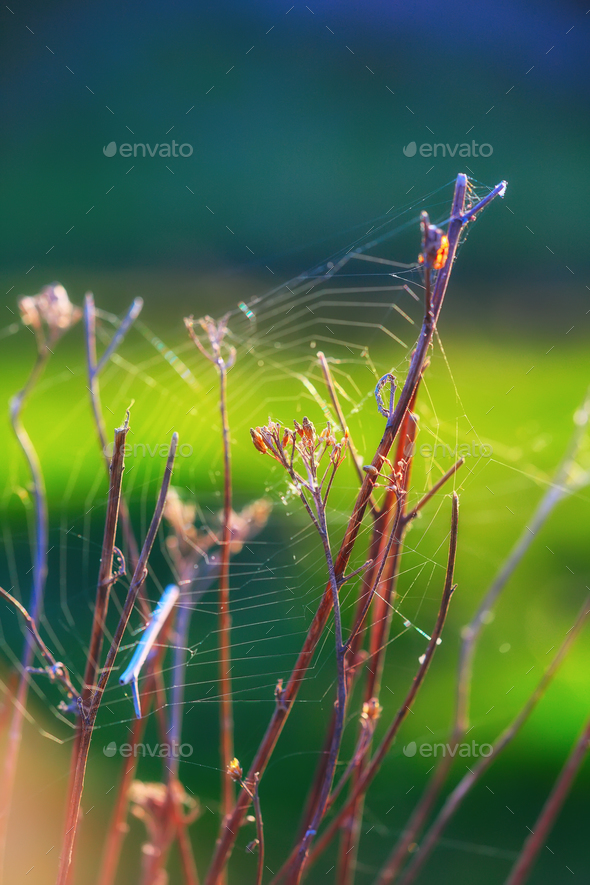 Web of a spider against sunrise - Stock Photo - Images