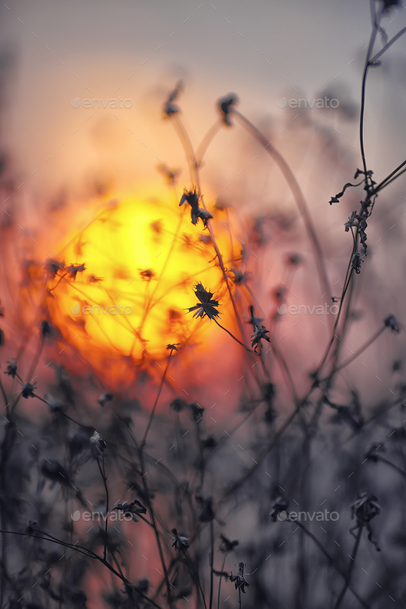 Dried flowers on a background sunset - Stock Photo - Images