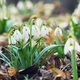 Spring snowdrop flowers blooming in sunny day - PhotoDune Item for Sale